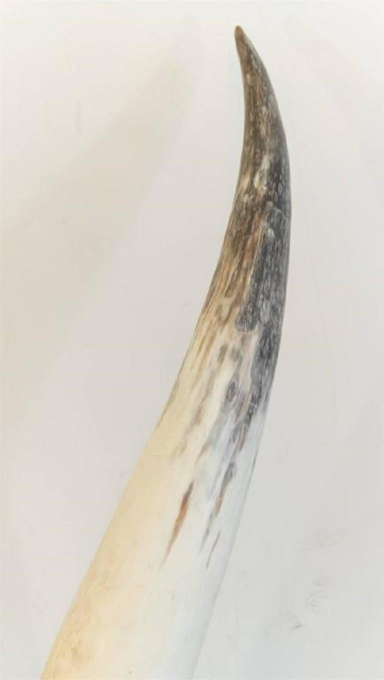 American Pair of Longhorns on Black Ebonized Bases For Sale