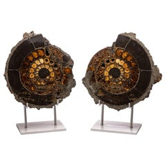 Pair of Russian Pyritized Spitoiceras Ammonite on Aluminium Custom Stand