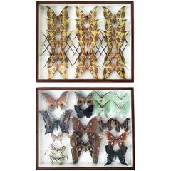 Pair of Silk Moth Display Cases