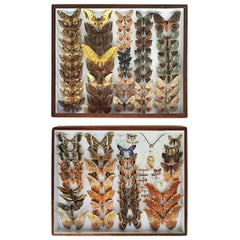 Pair of Silk Moth Display Cases