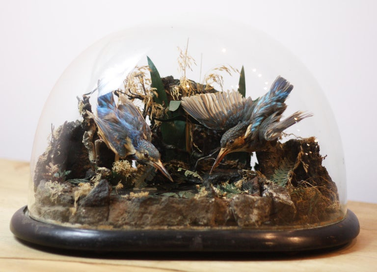Fine pair of Victorian taxidermy kingfishers set over an ornamental mirrored pond, in original domed glass case, in great condition.