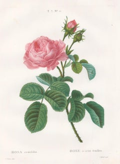 Pink Rose Engraving: Rosa Centifolia