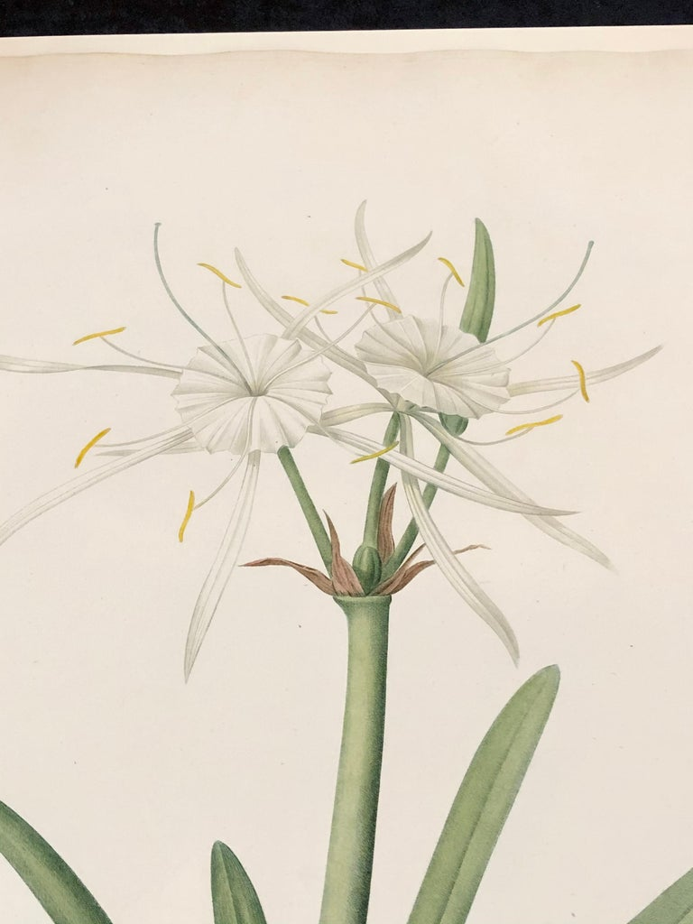 Hand-Painted Pancratium Disciforme Hand Colored Engraving Signed P.J. Redoute & Numbered For Sale