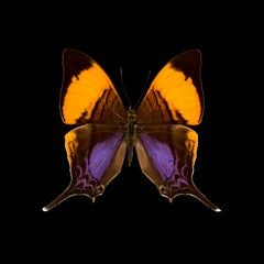 KROMA -  The Butterflies - Marpesia cosita-R