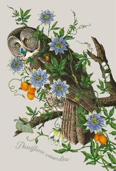 Passiflora cearulea