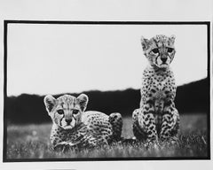 Cheetah Cubs at Mweiga nr Nyeri, Kenya, 1968
