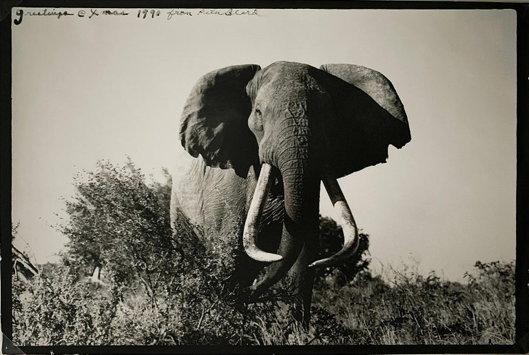 "Large tusker ""Elephant"" photograph by Peter Beard -  9"" x 13.5"" — is a signed gelatin silver print and dedicated (""greetings @xmas 1990 from Peter Beard), top of photo (left corner). Beard's photographs of elephants shot in East Africa -- Kenya --"