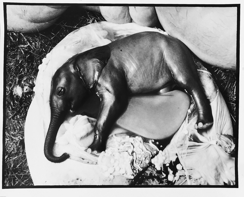 Peter Beard - Elephant's Embryo, Uganda, Platinum Print- Unsigned