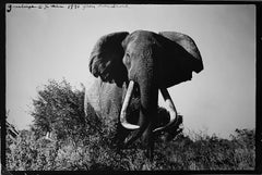 Large Tusker, Black and White Nature Photography of Elephant in Kenya, Africa