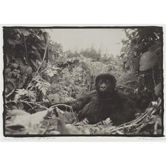 Black and White Photograph of One Year old Gorilla in Rwanda Before the Genocide
