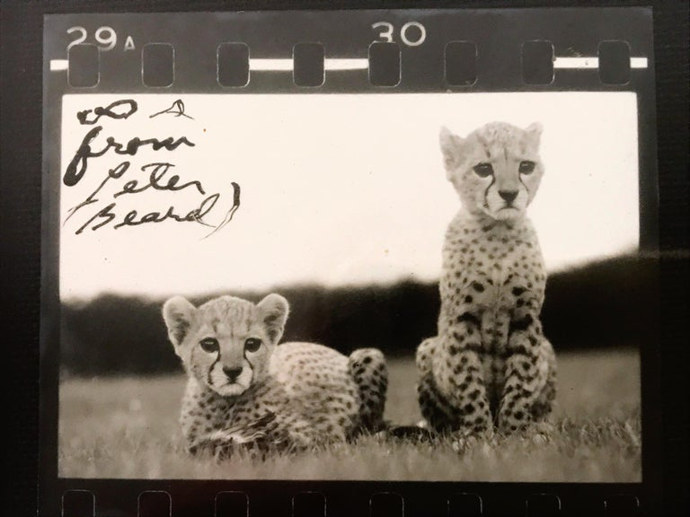 Orphaned Cheetah Cubs, Photography, Silver Gelatin, Signed, Framed - Black Black and White Photograph by Peter Beard