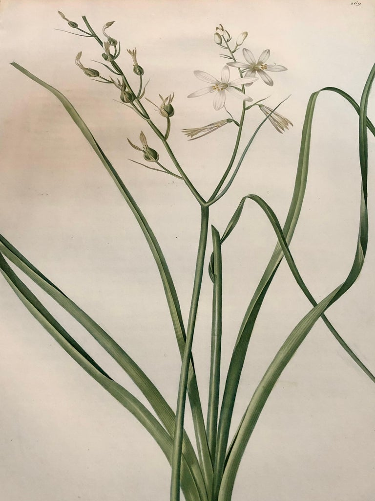 Phalangium Liliago Hand Colored Engraving Signed P.J. Redoute For Sale 4