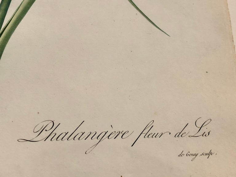 Phalangium Liliago Hand Colored Engraving Signed P.J. Redoute For Sale 6