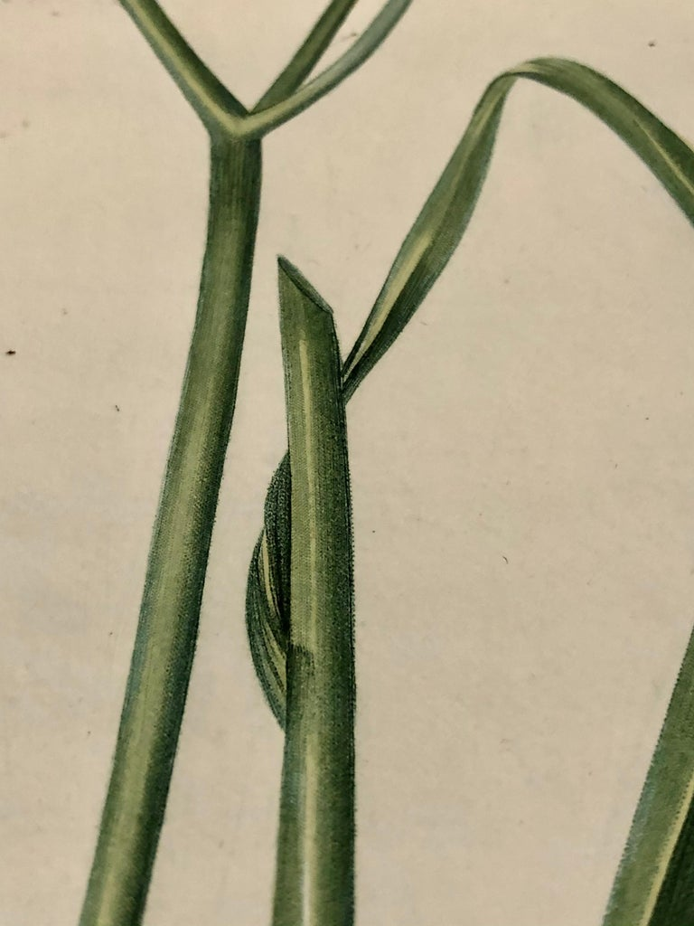 Phalangium Liliago Hand Colored Engraving Signed P.J. Redoute For Sale 7