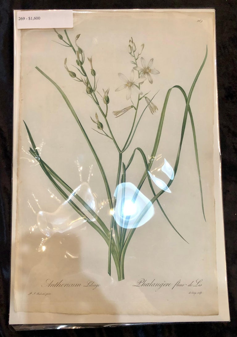 Minimalist Phalangium Liliago Hand Colored Engraving Signed P.J. Redoute For Sale