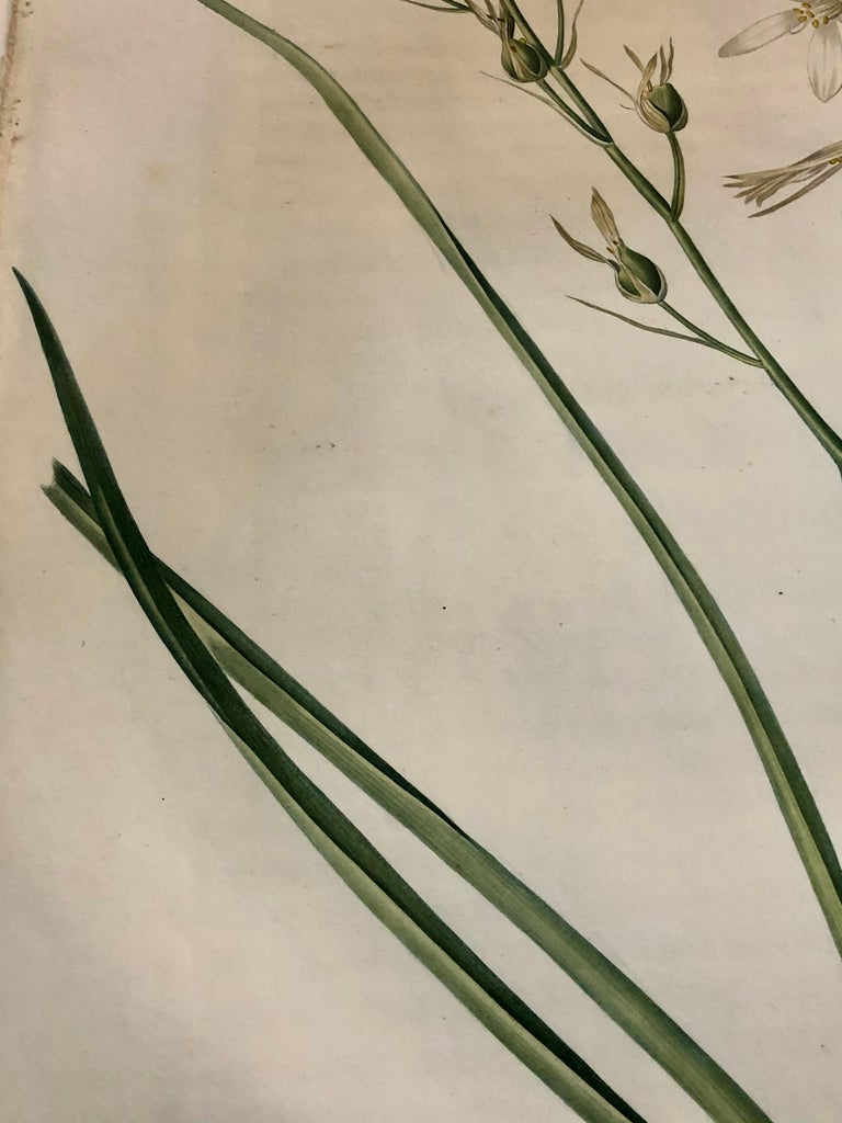 Phalangium Liliago Hand Colored Engraving Signed P.J. Redoute For Sale 1