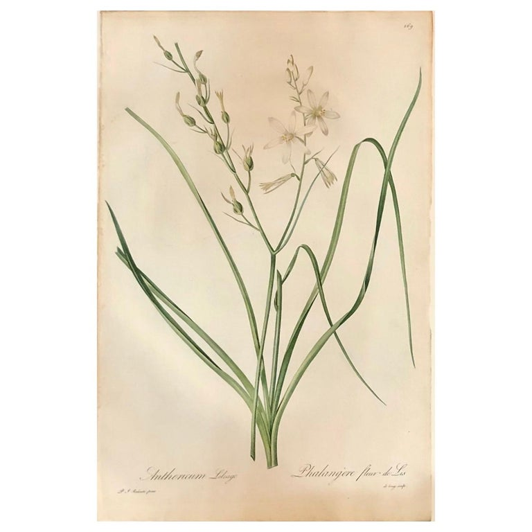 Phalangium Liliago Hand Colored Engraving Signed P.J. Redoute For Sale