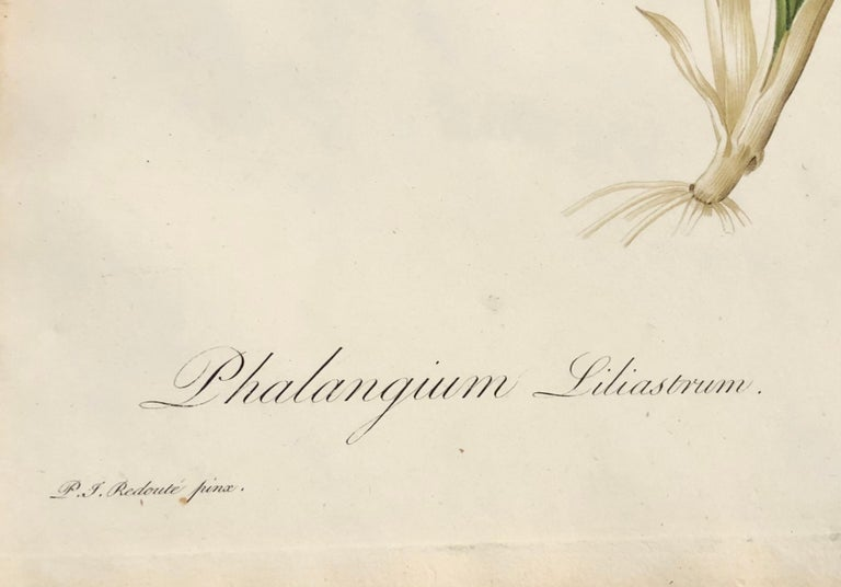 Phalangium Liliastrum Hand Painted Colored Engraving Signed P.J. Redoute For Sale 6