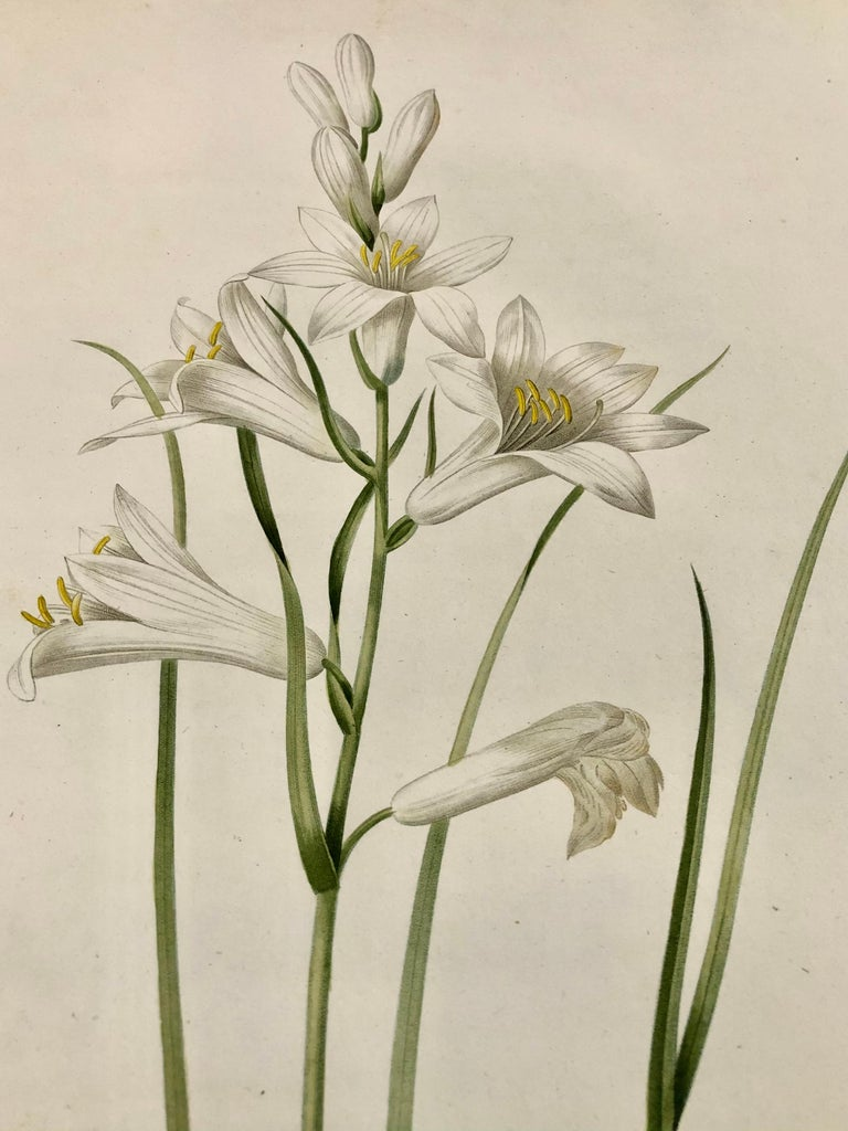 19th Century Phalangium Liliastrum Hand Painted Colored Engraving Signed P.J. Redoute For Sale