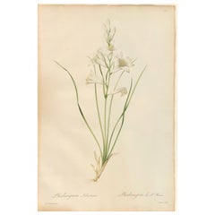 Phalangium Liliastrum Hand Painted Colored Engraving Signed P.J. Redoute