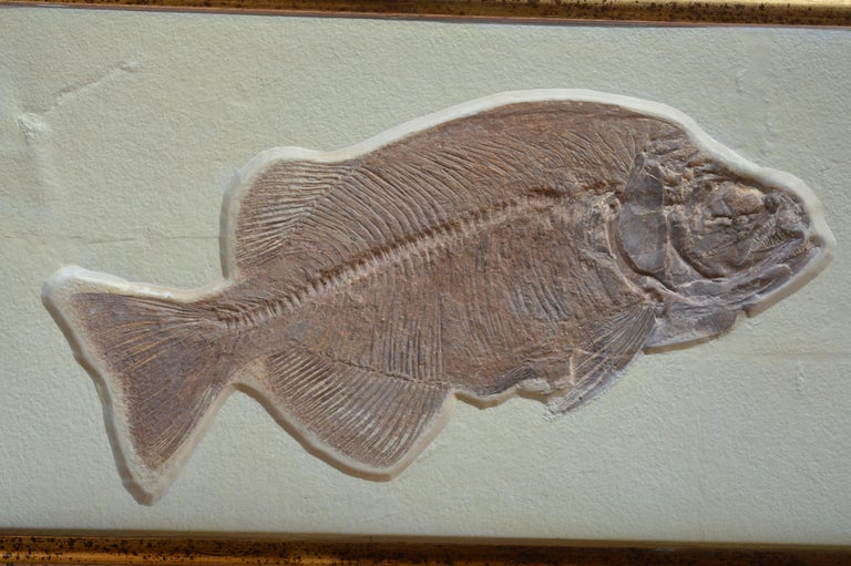 Other Phareodus Fish Fossil from Eocene Era on Limestone For Sale