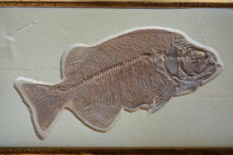 American Phareodus Fish Fossil from Eocene Era on Limestone For Sale