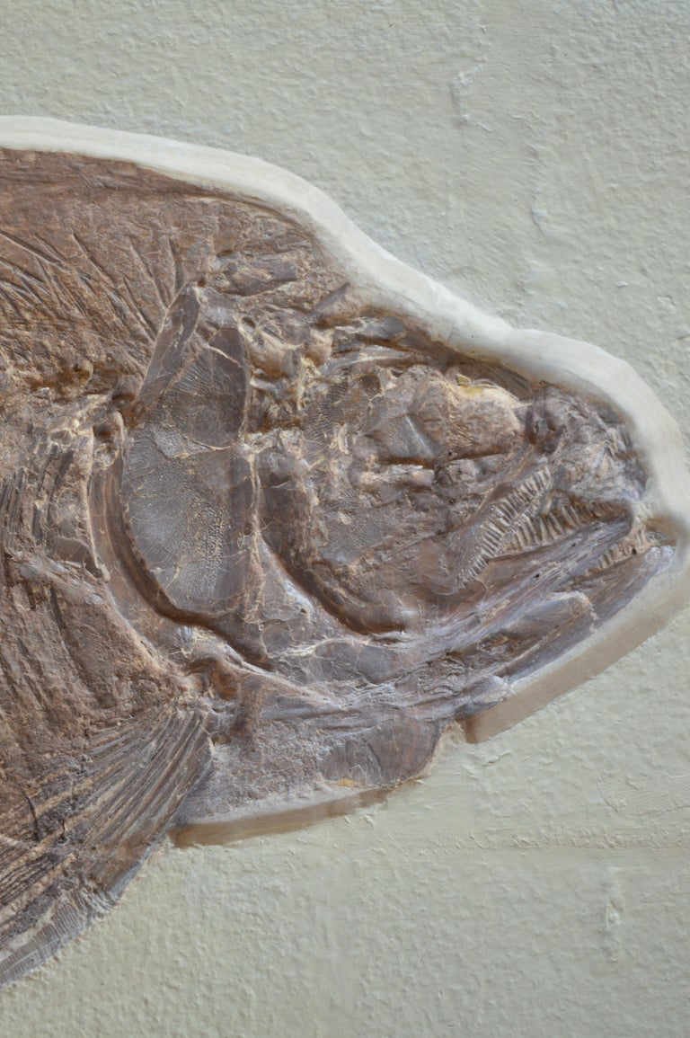 Phareodus Fish Fossil from Eocene Era on Limestone In Good Condition For Sale In Los Angeles, CA