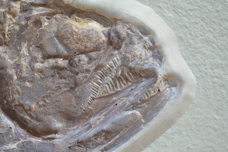 Phareodus Fish Fossil from Eocene Era on Limestone For Sale 2