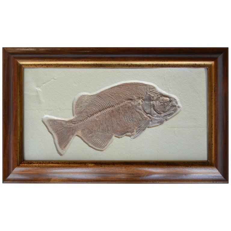 Phareodus Fish Fossil from Eocene Era on Limestone For Sale