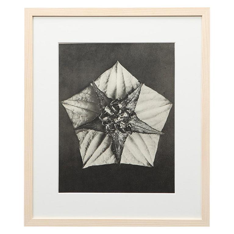 Photogravure in black and white by Karl Blossfeldt '1'