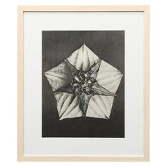 Photogravure in black and white by Karl Blossfeldt '1'