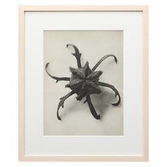 Photogravure in Black and White by Karl Blossfeldt '10'