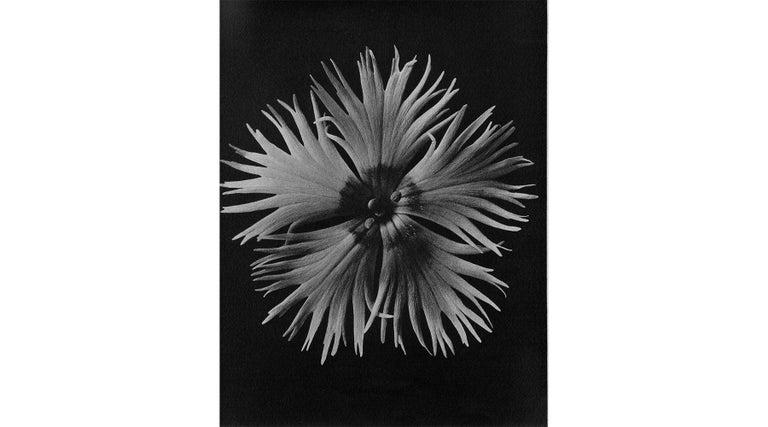 Photography, black and white, Wundergarten der Natur, Karl Blossfeldt, Germany, 1928.  In photographic art, Karl Blossfeldt is regarded as a representative of New Objectivity such as August Sander, Bernd and Hilla Becher, Max Bauer. Botanical