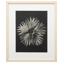 Photogravure in Black and White by Karl Blossfeldt '2'