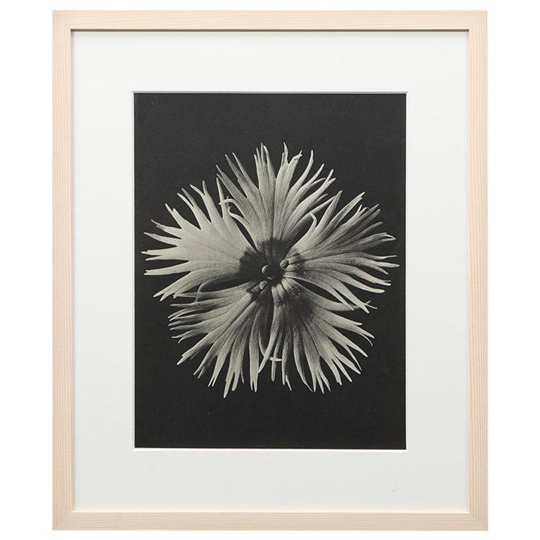 Photogravure in Black and White by Karl Blossfeldt '2' For Sale