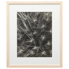Photogravure in Black and White by Karl Blossfeldt '3'