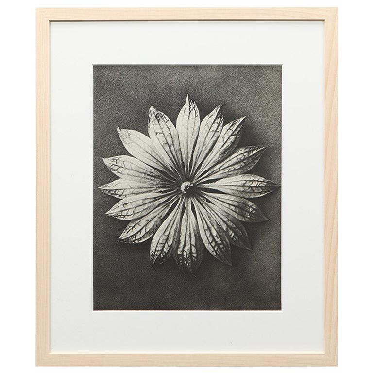 Photogravure in black and white by Karl Blossfeldt '4'