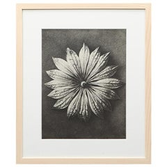 Photogravure in black and white by Karl Blossfeldt '4'