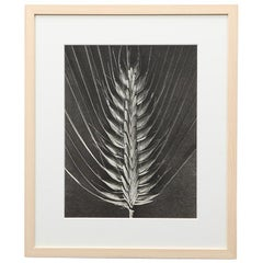 Photogravure in Black and White by Karl Blossfeldt '6'