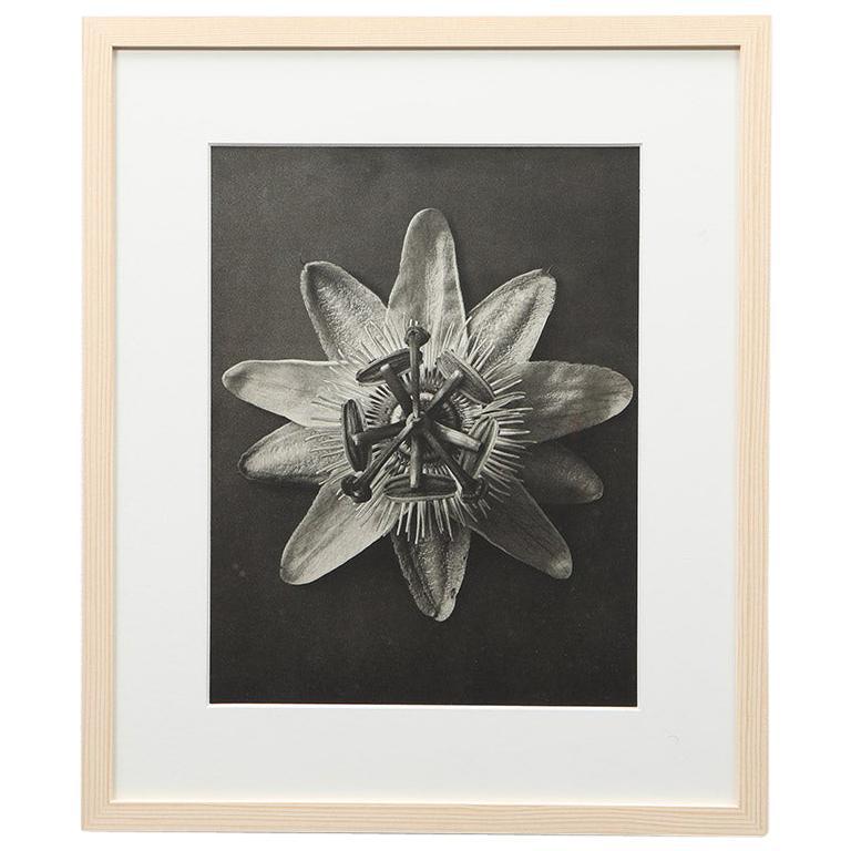 Photogravure in Black and White by Karl Blossfeldt '8'