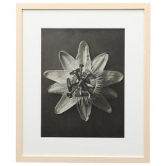 Photogravure in Black and White by Karl Blossfeldt '8'