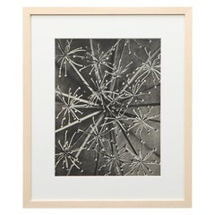Photogravure in Black and White by Karl Blossfeldt '9'