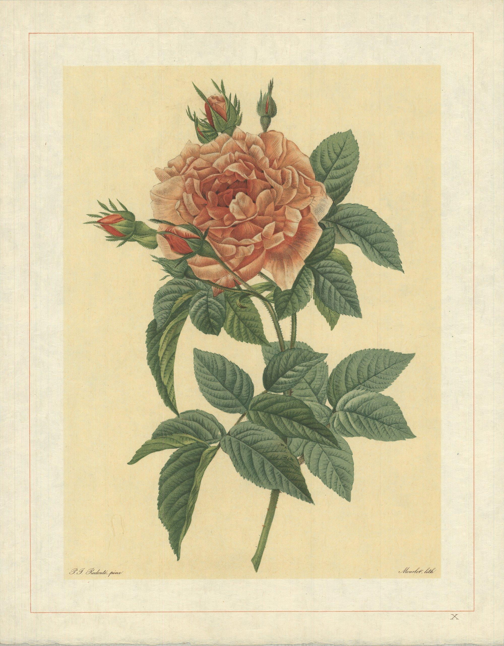 1938 Pierre-Joseph Redoute 'Rosa Bifera Macrocarpa; Rosier de Portland 'Rose