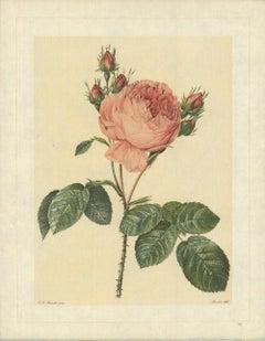 1938 Pierre-Joseph Redoute 'Rosa Centifolia; Rosier de Provence' France