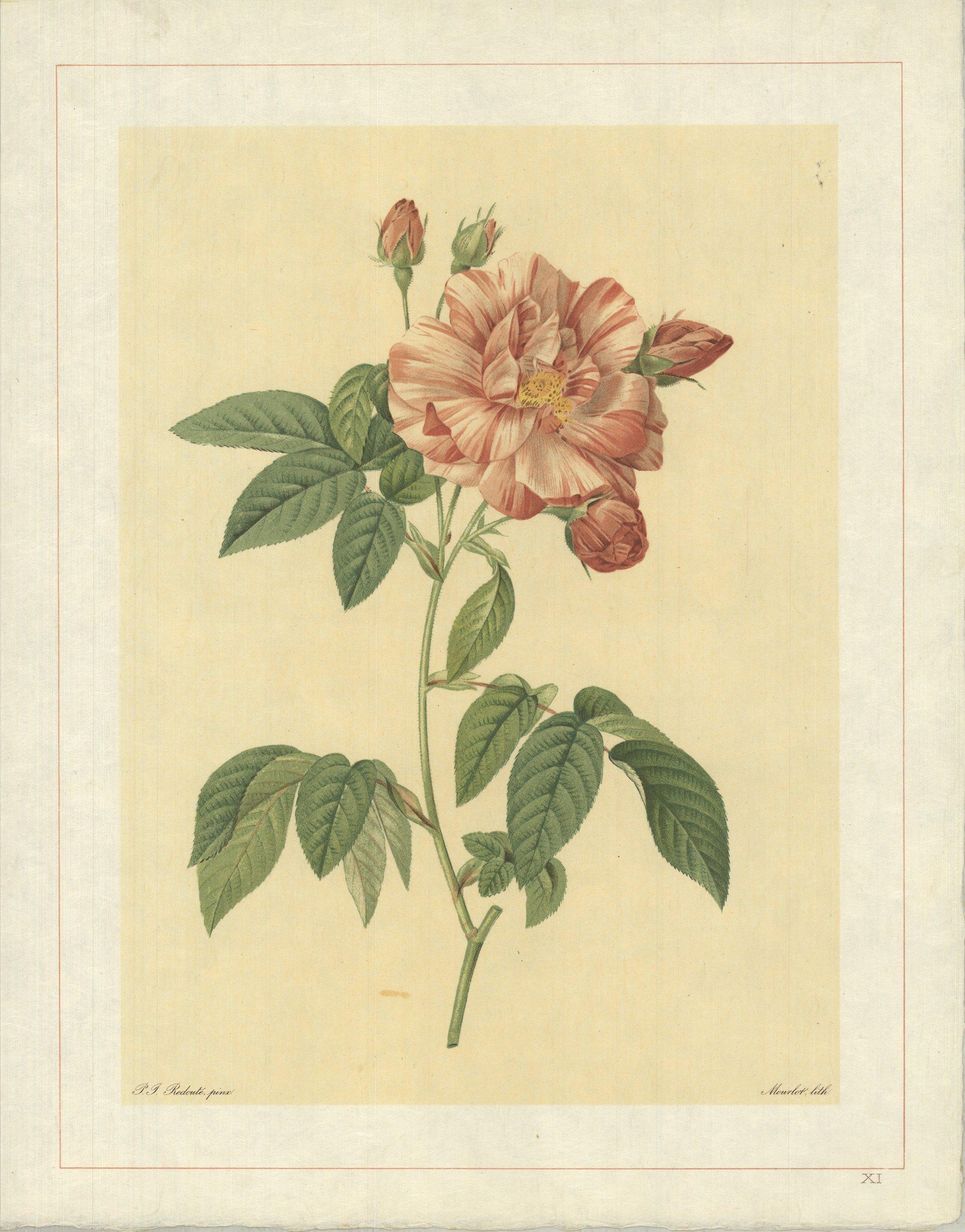 1938 Pierre-Joseph Redoute 'Rosa Gallica Versicolor; Rosier de France a fleurs