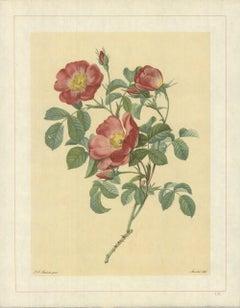 1938 Pierre-Joseph Redoute 'Rosa Pumila; Rosier d'Amour; Rosier d'Autriche'
