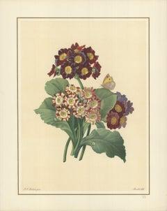 1939 Pierre-Joseph Redoute 'Oreilles D'Ours- Primula auricula, varietes' France