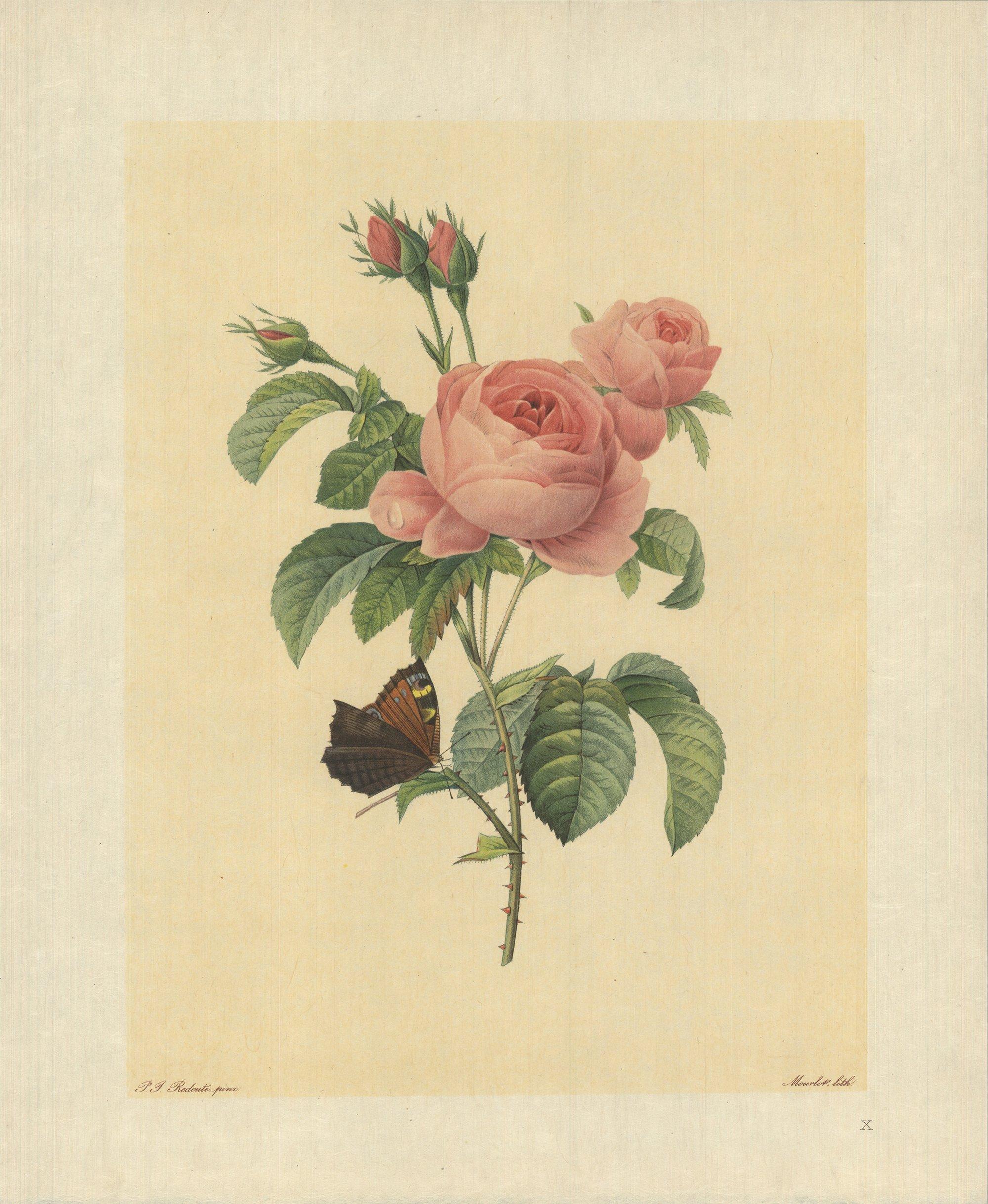 1939 Pierre-Joseph Redoute 'Rosier a Cent Feuilles (Rosa Centifolia)' Lithograph