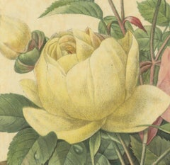 1939 Pierre-Joseph Redoute 'Variete de Rose Jaune et de Rose de Bengale'