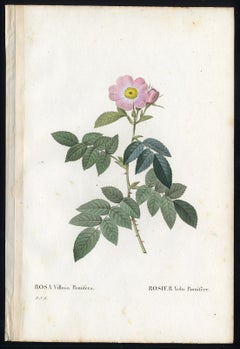 Apple Rose by Redoute - Les Roses - Handcoloured engraving - 19th century